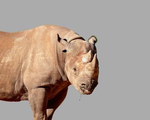 Foto op Aluminium Neushoorn A Magnificent White Rhinoceros