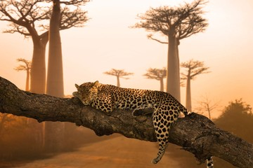 Poster Luipaard Beautiful shot of a leopard sleeping on the tree - great for a background