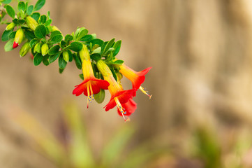 The colorful three colored (red, yellow, green) cantuta (cantua buxifolia) is the national flower of Bolivia and found in the Andes mountain range. Photographed in La Paz.