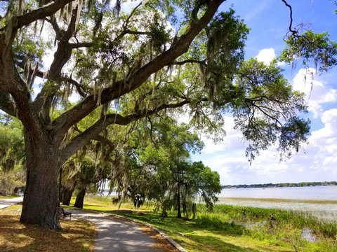 An oak tree with moss by the lake near Heritage Park, Winter Haven, Florida, U.S.A