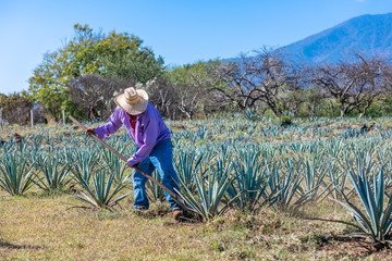 Poster Culture Worker in blue agave field in Tequila, Jalisco, Mexico