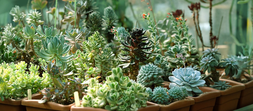 seedlings of succulents in greenhouse. various types Botanical collection of succulents.