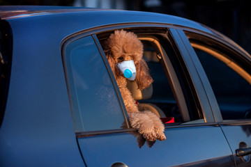Dog wearing face mask because of air pollution or virus epidemic in the city. Dog looking out of car window.