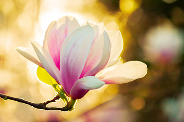 Photo sur Aluminium Magnolia magnolia in sun light. beautiful springtime background