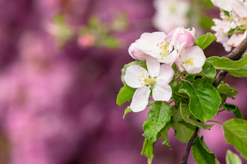 apple branch in white blossom. beautiful pink nature background on a sunny day in spring. blurred background