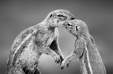 Wall Mural - Ground squirrels having an affectionate moment in the Kgalagadi. Black and white. Xerus inauris