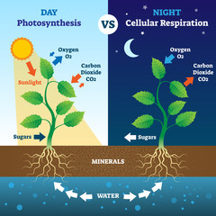 Photosynthesis and cellular respiration comparison vector illustration.