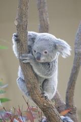 Fotorolgordijn Koala コアラ