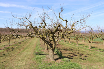 Obstbaumplantage im Frühling