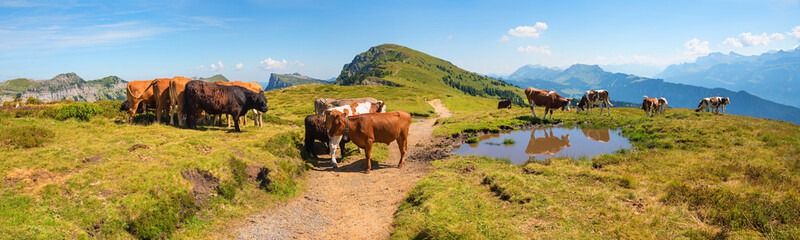 cattle herd at the alpine pasture Niederhorn mountain, hiking in idyllic swiss landscape