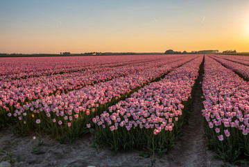 Tulip fields are in bloom, all colors can be seen in a mead w in the Netherlands under a beautiful sky