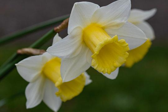 white daffodil in the garden