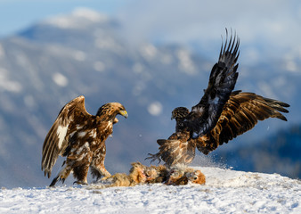 Norwegian golden eagle (Aquila chrysaetos) in winter snow with prey Wall mural