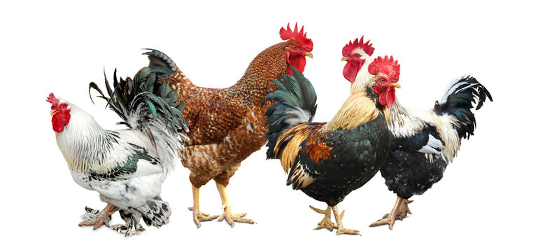 Beautiful chickens and roosters on white background