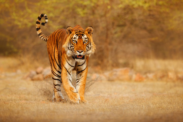 Spoed Fotobehang Tijger Great tiger male in the nature habitat. Tiger walk during the golden light time. Wildlife scene with danger animal. Hot summer in India. Dry area with beautiful indian tiger, Panthera tigris