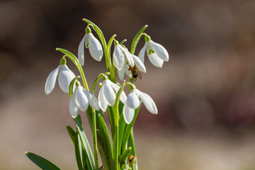Wall Mural - Snowdrops flowers with a bee