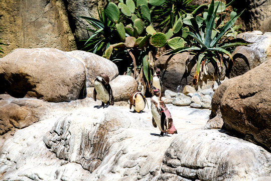 Shedding South African penguins stand on a rock and bask in the sun against the background of green cacti at a zoo