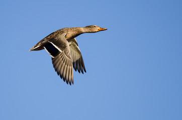 Wall Mural - Mallard Duck Flying in a Blue Sky