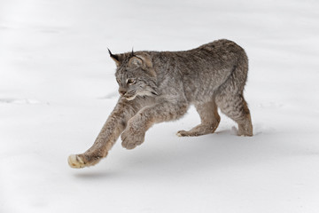 Photo on textile frame Lynx Canadian Lynx (Lynx canadensis) Pounces in Snow Winter