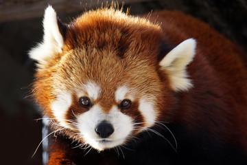 Poster Panda Red panda portrait