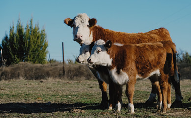Wall Mural - Hereford cow with calves on farm, beef cattle concept.