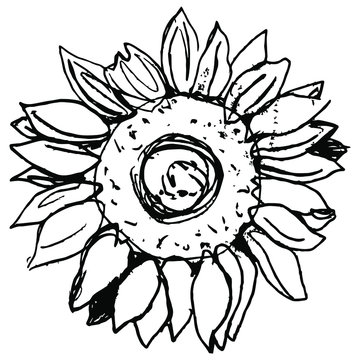 Head of sunflower blossom. Hand drawn linear doodle ink sketch. Black and white rough silhouette. Round floral mandala.