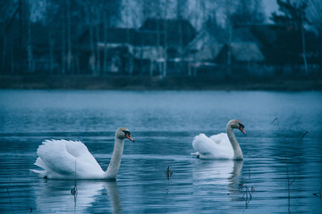Stores à enrouleur Cygne beautiful wild swan in a city lake