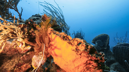 Seascape of coral reef in Caribbean Sea / Curacao with coral, sponge and Golden Crinoid
