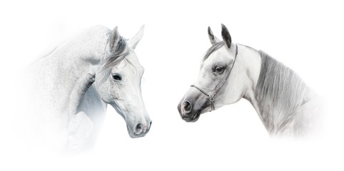 Wall Mural - white arabian horses