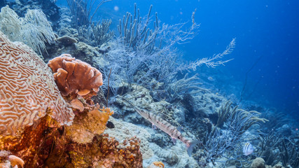 Seascape in turquoise water of coral reef in Caribbean Sea / Curacao with Barracuda, coral and sponge