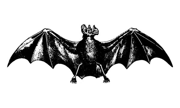 Vintage Bat Illustration