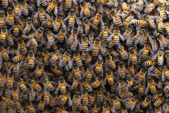A section of a swarm of honey bees formed spontaneously in an urban setting in Pasadena in mid March.
