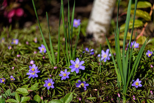 Spring blooming ground cover with light purple flowers
