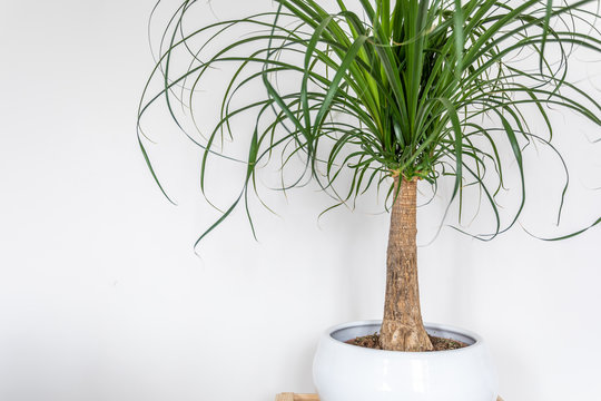 Beaucarnea recurvata plant on white background. Indoor plant, interior plant cleaning air.