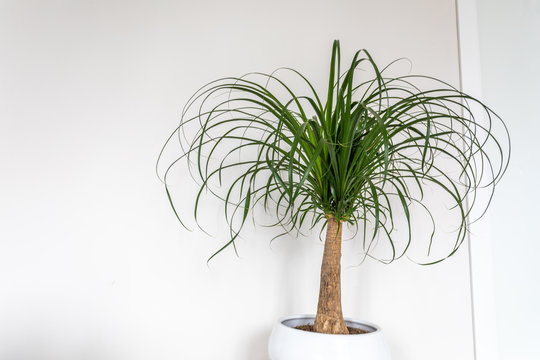 Beaucarnea recurvata plant on white background - Small tree with white jar.