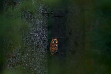 Fototapete - Dark forest with owl. Brown owl sitting on tree stump in the dark forest habitat. Beautiful animal in the nature. Bird in the Sweden forest. Wildlife scene from dark spruce forest. Tawny owl hidden.