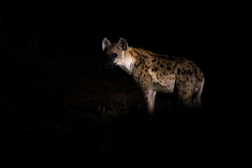 Hyena at dark night.  Spotted hyena, Crocuta crocuta, angry animal near the water hole, beautiful evening sunset. Animal behaviour from nature, wildlife in Etosha, Namibia, Africa. Hyena in savannah.