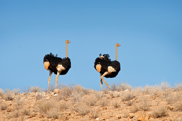 Fotomurales - Ostrich in the sand dune habitat with blue sky. Common ostrich, Struthio camelus, big bird feeding green grass in savannah, Namib NP, Namibia in Africa. Big bird in the dry desert.