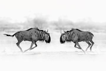 Fotomurales - Wildebeest fight. Blue wildebeest, Connochaetes taurinus, on the meadow, big animal in the nature habitat in Botswana, Africa.
