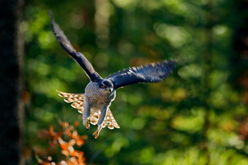 Wall Mural - Goshawk flying, bird of prey with open wings with evening sun back light, nature forest habitat, Czech Republic. Wildlife scene from autumn nature. Bird fly landing pn tree trunk in orange vegetation.