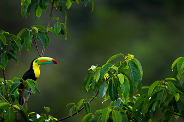 Wall Mural - Keel-billed Toucan, Ramphastos sulfuratus, bird with big bill sitting on branch in the forest, Costa Rica. Nature travel in central America. Beautiful bird in nature habitat.