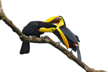 Wall Mural - Love of Chesnut-mandibled Toucans sitting on the branch in tropical rain, white background. Wildlife scene from nature with beautiful birds in courtship ceremony.