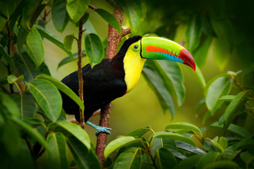 Wall Mural - Costa Rica wildlife. Toucan sitting on the branch in the forest, green vegetation. Nature travel holiday in central America. Keel-billed Toucan, Ramphastos sulfuratus. Wildlife from Costa Rica.