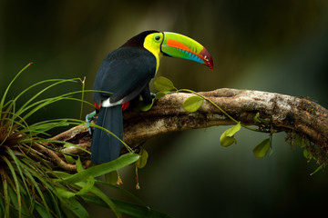 Photo sur Aluminium Toucan Costa Rica wildlife. Toucan sitting on the branch in the forest, green vegetation. Nature travel holiday in central America. Keel-billed Toucan, Ramphastos sulfuratus. Wildlife from Costa Rica.