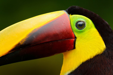 Wall Mural - Toucan with big bill. Rainy season in America. Chestnut-mandibled toucan sitting on branch in tropical rain with green jungle background. Wildlife scene from tropic jungle. Animal in Panama forest.