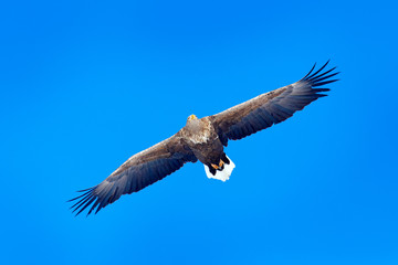 Wall Mural - White-tailed eagle, Haliaeetus albicilla, big bird of prey on the dark blue sky, with white tail, Japan. Action wildlife scene from sky. Big bird of prey on the sky.