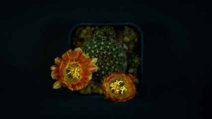 Wall Mural - Time lapse of Cactus flowers blooming on black background.