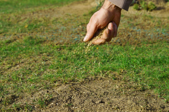 spreading grass seed in spring by hand for the perfect lawn. Sowing Grass Seed By Hand. grass seeds in male hand in loosened soil background. blue colored spreaded seeds in the blurred background