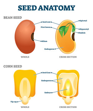 Seed anatomy vector illustration. Labeled educational botany structure scheme