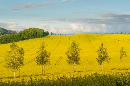 Rapsfeld im Sauerland